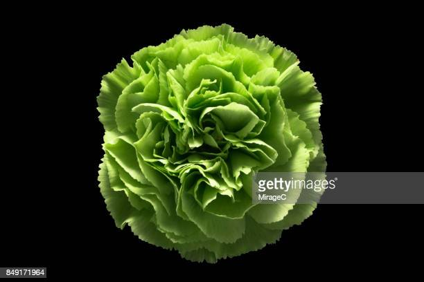 green carnation flower on black background - carnation flower stock photos and pictures