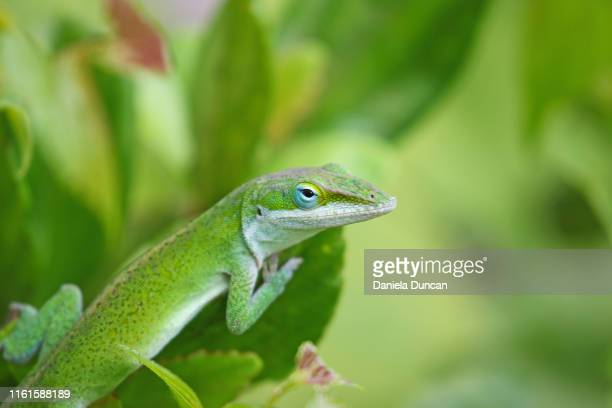 green carolina anole on green foliage - anole lizard stock pictures, royalty-free photos & images