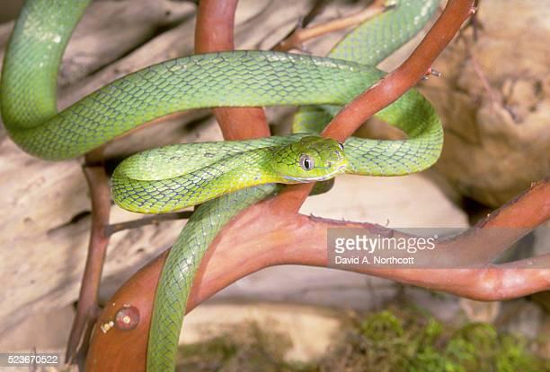 Green Cat Eye Snake