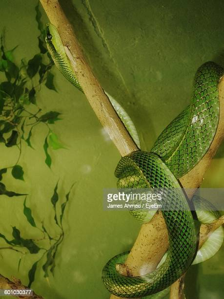green cat snake on branch in zoo - cat snake stock photos and pictures