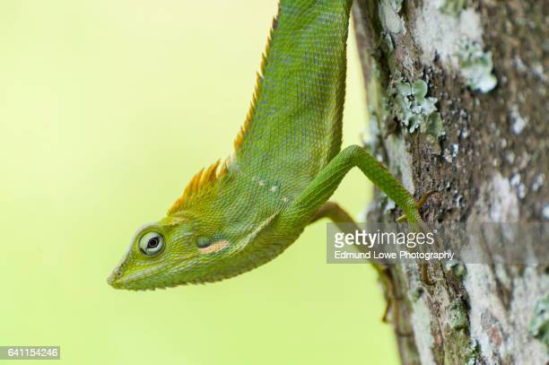 Green Chameleon in Bali