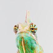 Green chameleon looking at camera