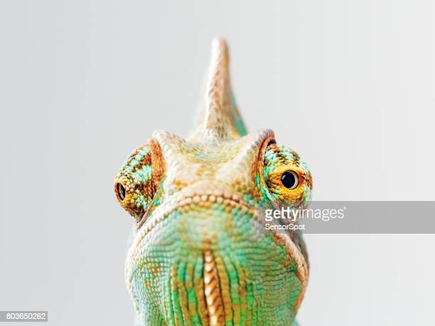 Green chameleon portrait