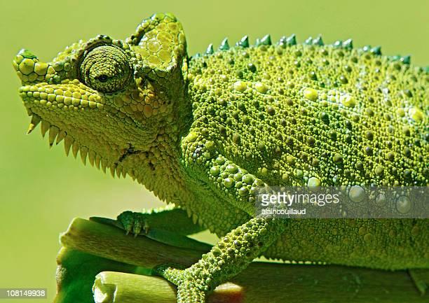 Green Chameleon Sitting on Plant Stalk, Side View
