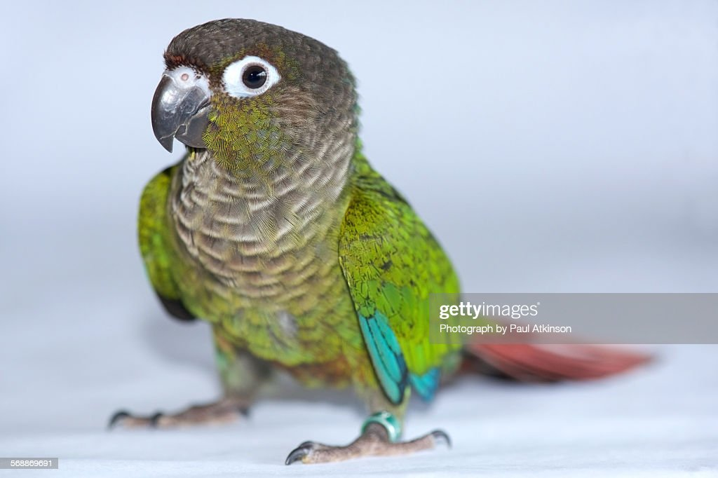 Green cheeked conure : Stock Photo
