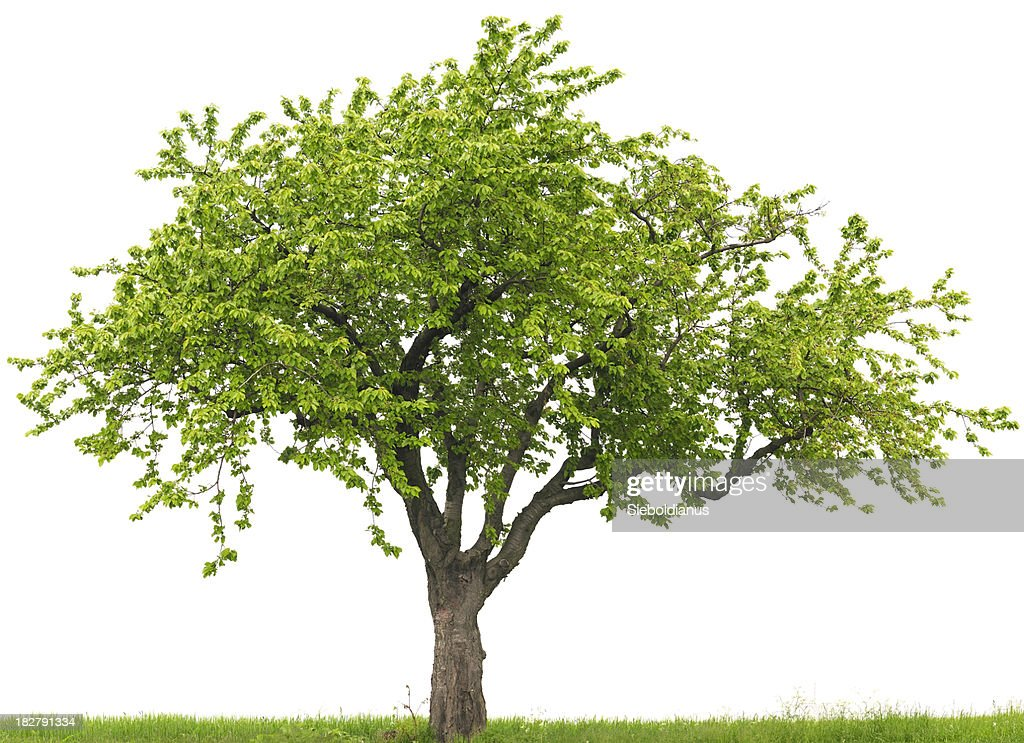Green cherry tree or Prunus avium on grass field : Stock Photo