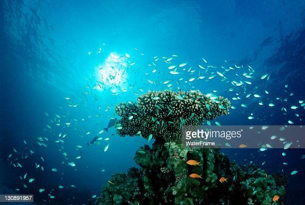 Green Chromis (Chromis viridis) on the coral reef, Indian Ocean, Maldives