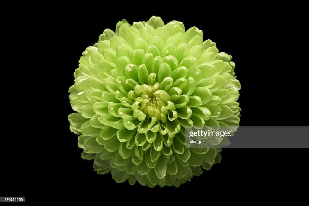 Green Chrysanthemum Flower Black Background : Stock-Foto