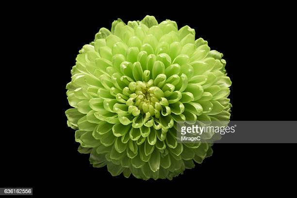 green chrysanthemum flower black background - chrysanthemum imagens e fotografias de stock