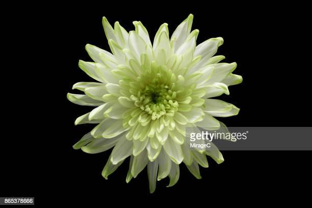green chrysanthemum flower on black background - 一つ ストックフォトと画像