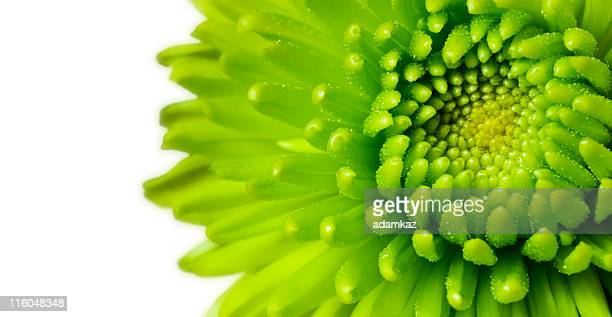 green chrysanthemum - single flower stock pictures, royalty-free photos & images