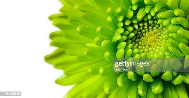 グリーンの菊