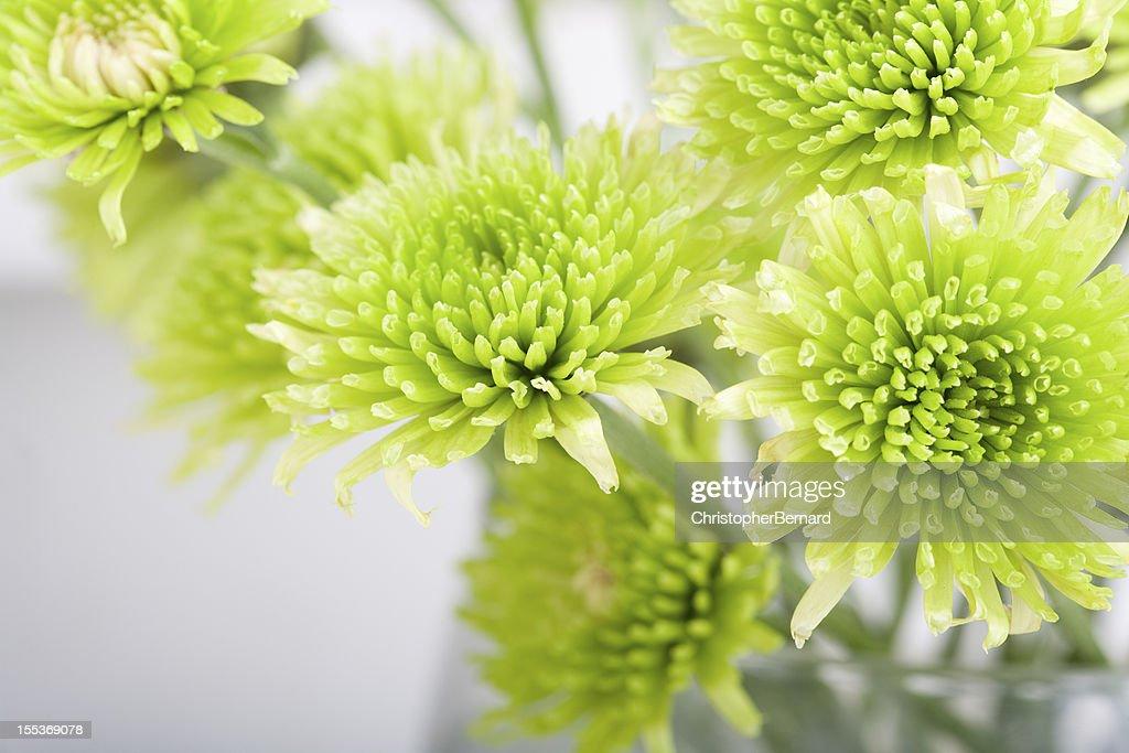 Green Chrysanthemum : Stock Photo