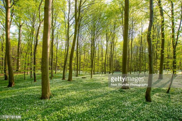 green clean - beech tree stock pictures, royalty-free photos & images