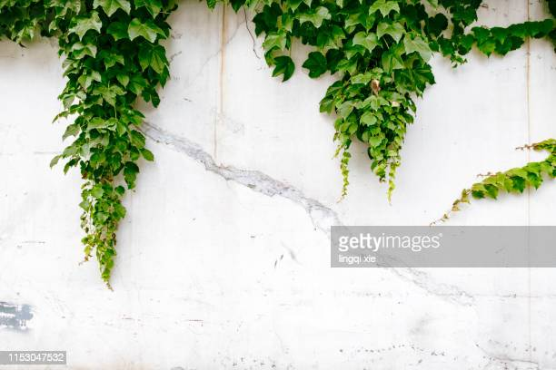 green climbers growing on mottled walls - vine plant stock pictures, royalty-free photos & images