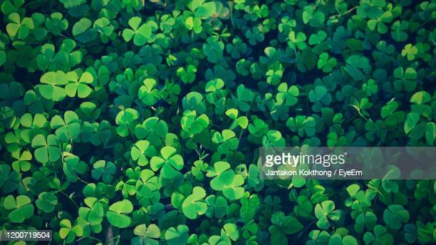 green clover leaf isolated for background. with three-leaved shamrock . st. patrick's day vacation - st patricks background stock pictures, royalty-free photos & images
