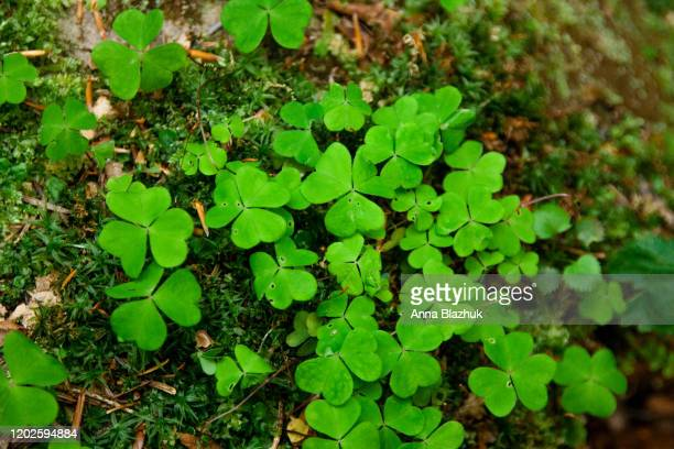 green clovers close up photo - st patricks background stock pictures, royalty-free photos & images