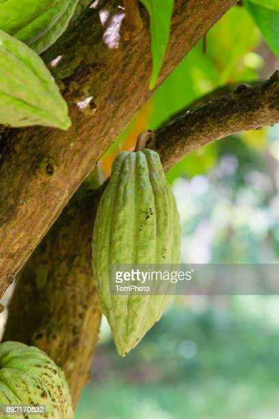 Green cocoa pods on tree in a plantation at Zanzibar island. Tanzania, Africa