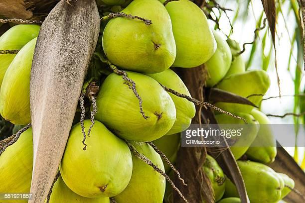 green coconut - crmacedonio stock pictures, royalty-free photos & images