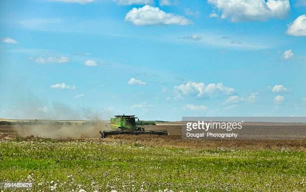 Green Combine Harvesting a Field of Lentils on the Prairies