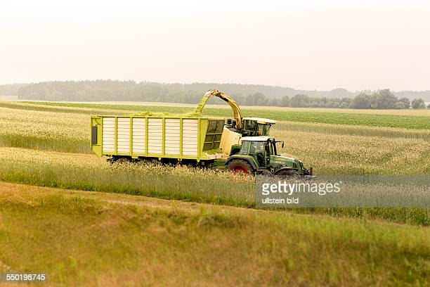 Green corn is being harvested for energy generation in a biogas plant