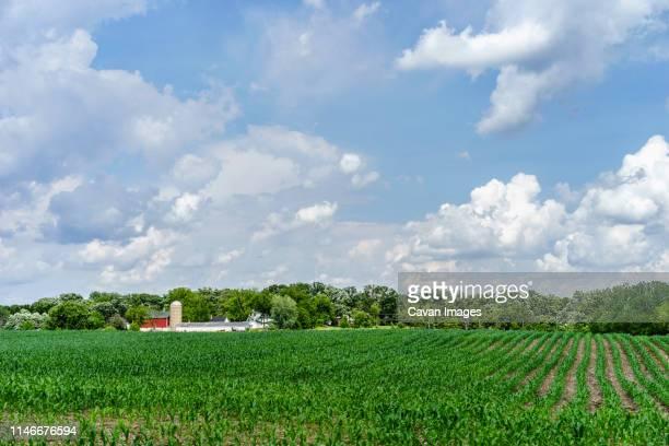 green cornfield near small community dairy farm on sunny day in spring - 六月 ストックフォトと画像