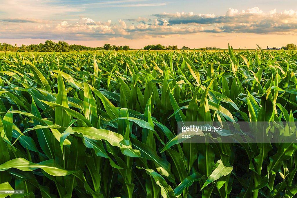 green cornfield listo para la cosecha, por la tarde, al atardecer, Illinois : Foto de stock