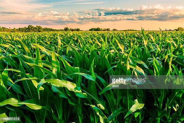 green cornfield ready for harvest, late afternoon light, sunset, illinois - corn stock pictures, royalty-free photos & images