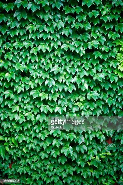 green creeper on the wall - edera foto e immagini stock
