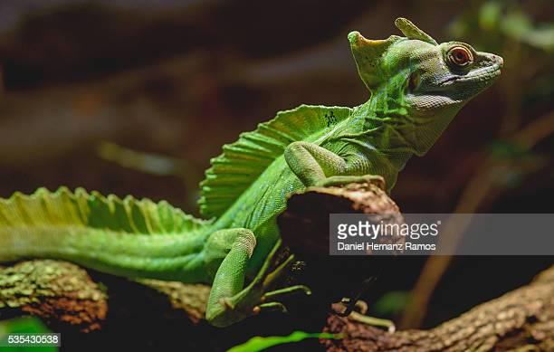green crested basilisk, Basiliscus plumifrons