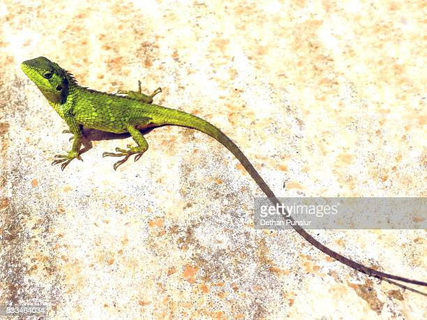 Green crested lizard 2