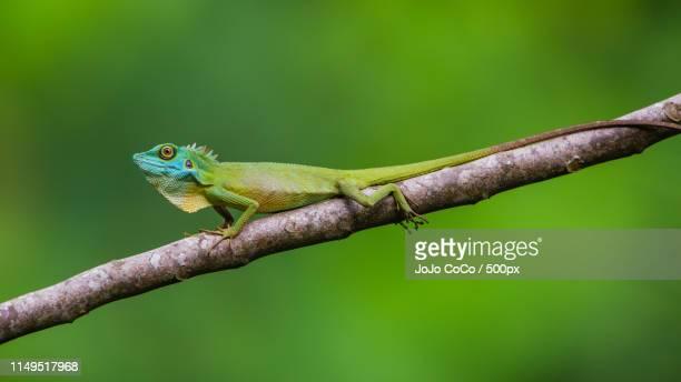 green crested lizard - jo wilder stock-fotos und bilder