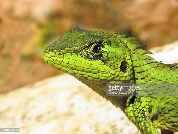 Green crested lizard portrait