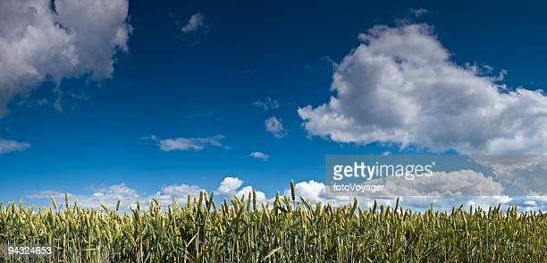 Verde colheita, big sky panorama