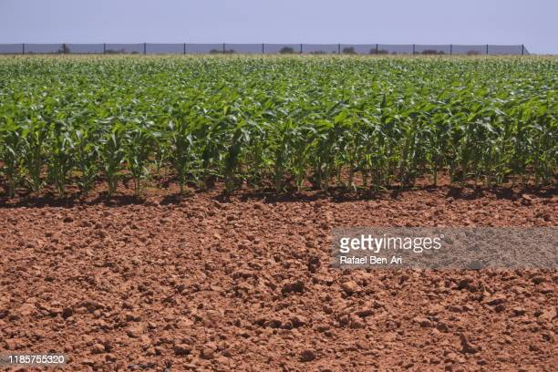 green crops in a field in western australia - rafael ben ari stock pictures, royalty-free photos & images