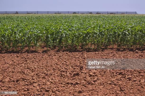 green crops in a field in western australia - rafael ben ari stock-fotos und bilder