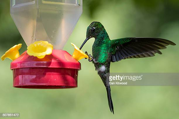Green Crowned Brilliant is pictured at a Hummingbird feeding station on January 15 2016 in Alajuela Costa Rica Of the 338 known species of...