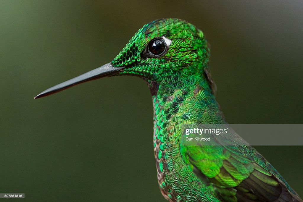 A Green Crowned Brilliant is pictured at a Hummingbird feeding station on January 15, 2016 in Alajuela, Costa Rica. Of the 338 known species of Hummingbird worldwide there are around 50 in Costa Rica. Hummingbirds are named for the distinctive sound made by their tiny beating wings, and are admired for their vibrantly coloured iridescent plumage. Their ability to hover, with wings beating between 12 and 90 times a second, and to fly backwards makes them different from all other birds. They are some of the smallest birds in the world and have the highest metabolic rate of any bird with a heart rate that can exceed 1,200 beats a minute. They can hear and see better than humans, but have a poor sense of smell. Hummingbirds eat at least half their body weight in food every day, darting between flowers to lap up nectar. They are generally solitary, very territorial and can be incredibly aggressive towards other birds. At night they go into a state of torpor to help conserve energy, and occasionally can be found sleeping upside down like bats on branches.