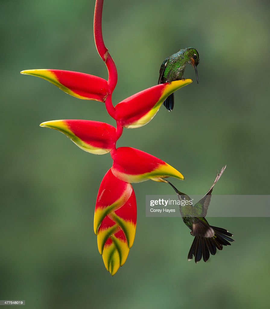 Green crowned brilliants : Stock Photo