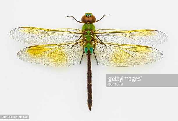 Green darner (Anax junius) on white background, overhead view