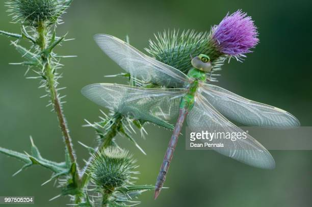 green darner - mayfly stock pictures, royalty-free photos & images