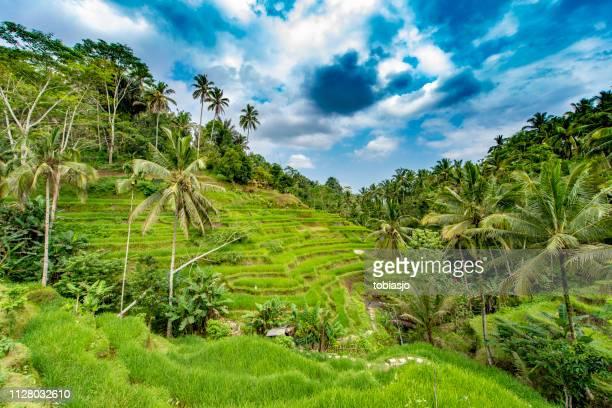 grünen tiefen regenwald in bali - reisterrasse stock-fotos und bilder