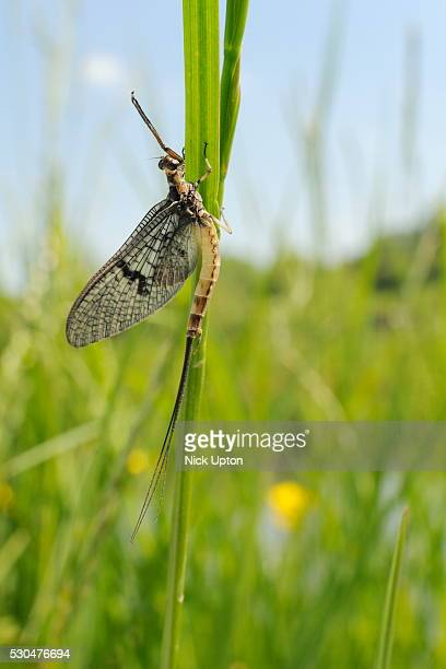 green drake mayfly (ephemera danica) newly emerged on a riverside grass stem, wiltshire, england, united kingdom, europe - mayfly stock pictures, royalty-free photos & images