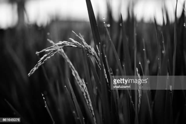 green ear of rice in paddy rice field under sunrise in bali, indonesia. - shaifulzamri 個照片及圖片檔