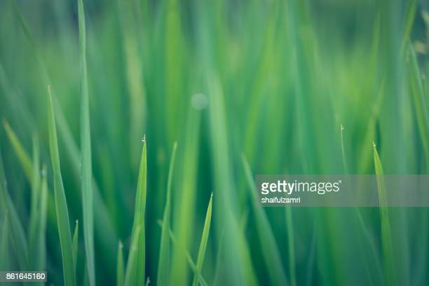 green ear of rice in paddy rice field under sunrise in bali, indonesia. - shaifulzamri stock pictures, royalty-free photos & images