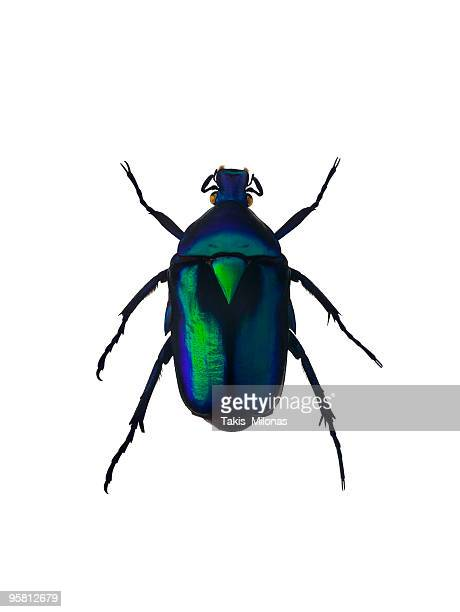 Green emerald beetle