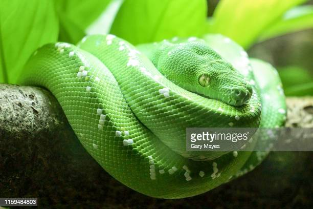 green emerald snake - emerald green stock pictures, royalty-free photos & images