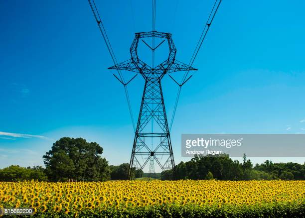 Green Energy Sunflower Field with electrical transmission lines