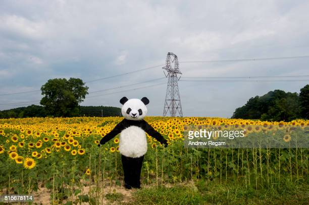 green energy sunflower panda - cosplay stock pictures, royalty-free photos & images