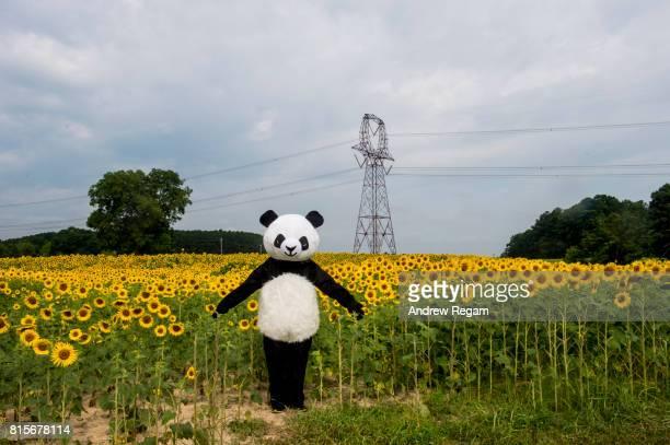 Green Energy Sunflower Panda